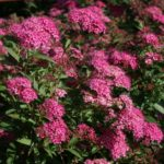 SPIRAEA BUMALDA 'ANTHONY WATERER'